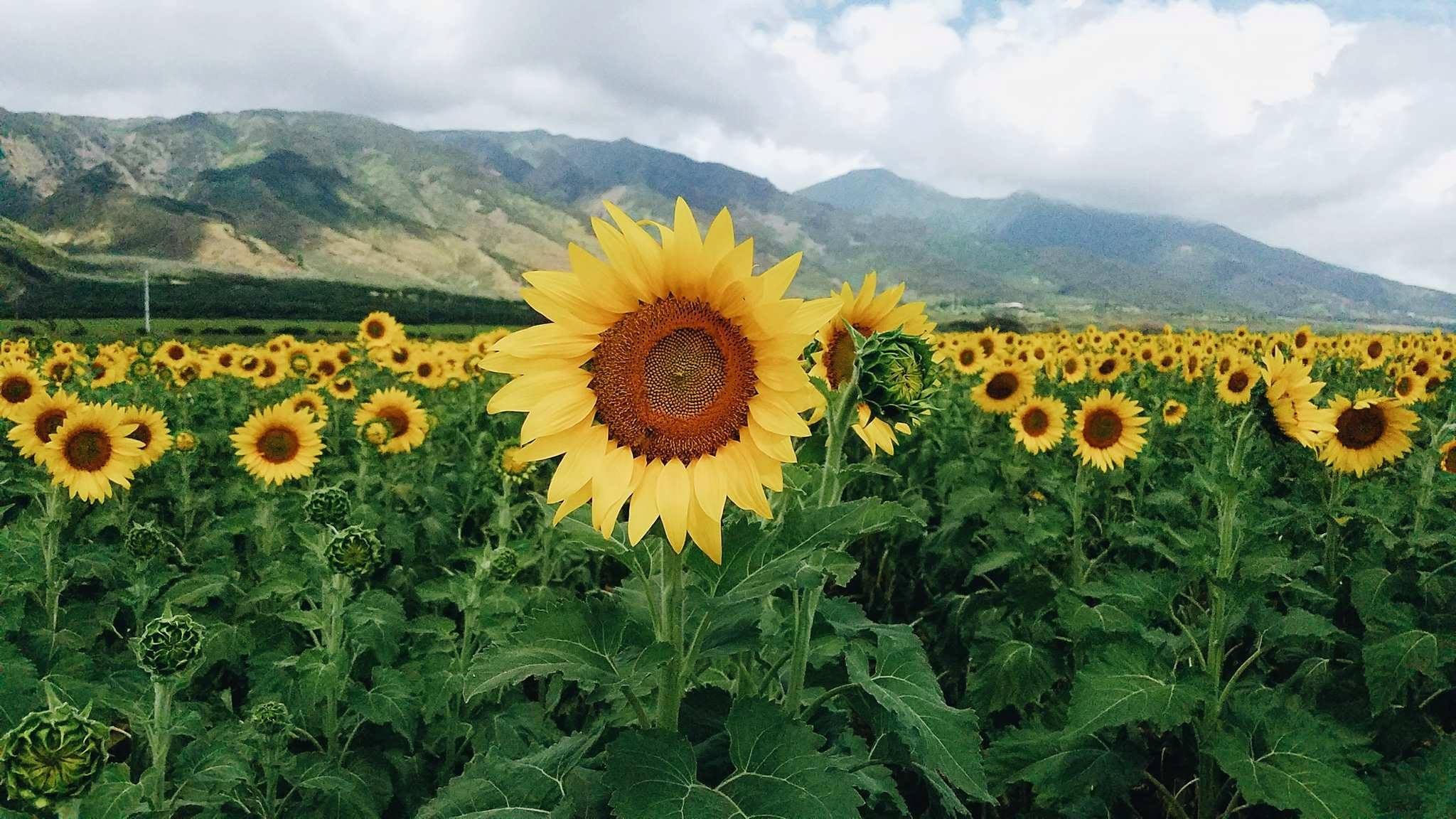MauiSunflower_Brenden_Smith
