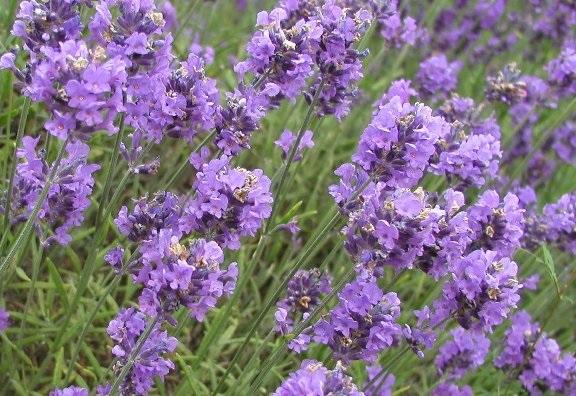 LavenderBudsm5