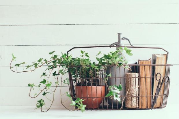 houseplant-ivy