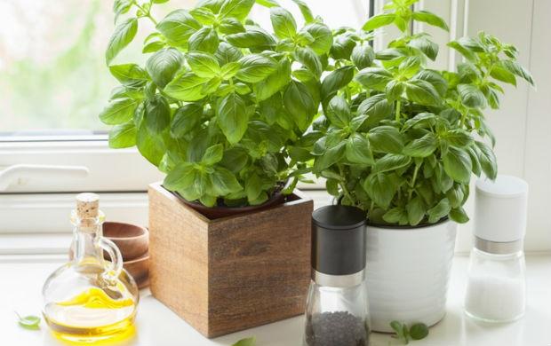houseplants-basil