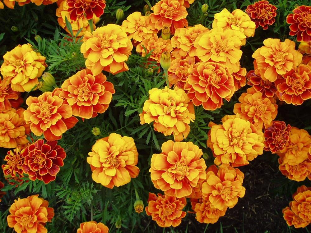 marigolds-18
