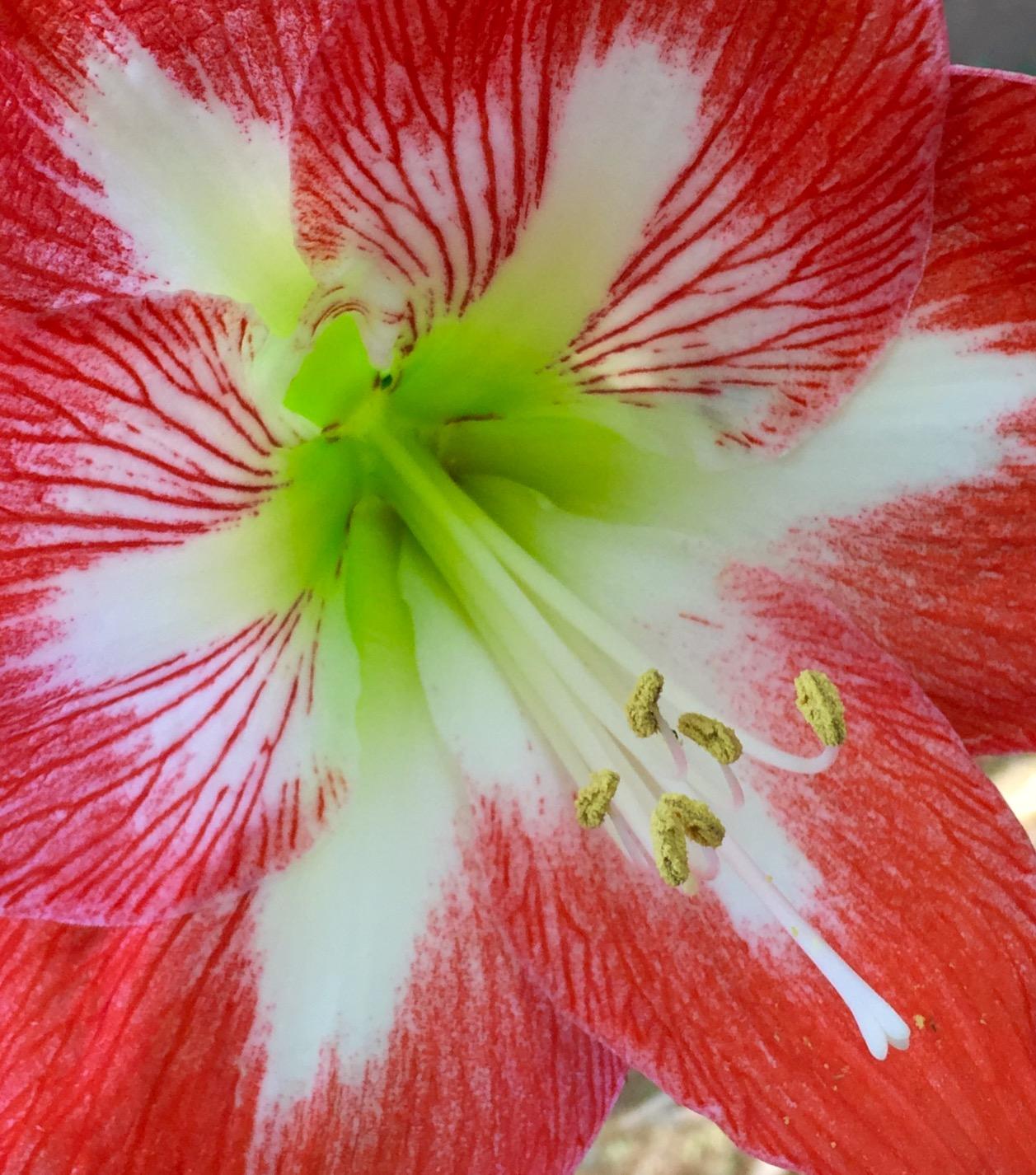 Amaryllis Red