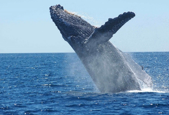 Humpack Whale in Hawaii