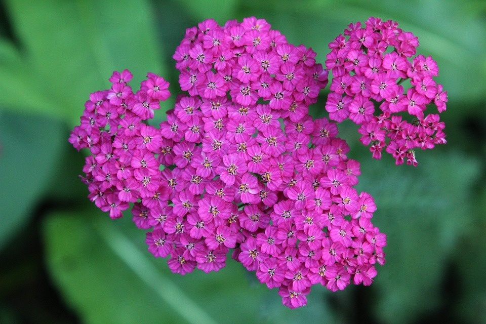purple_yarrow