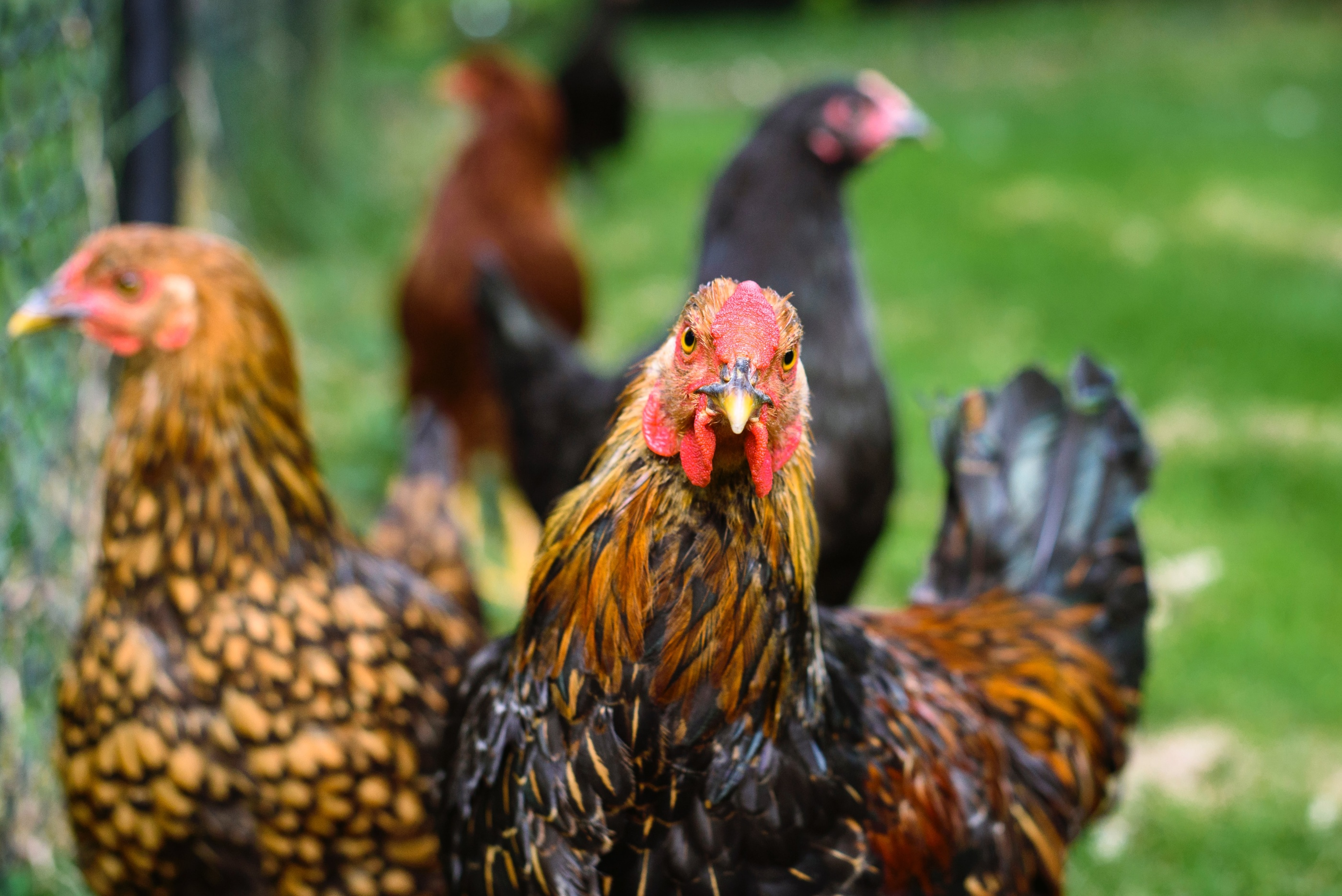 Two roosters are in the center with one staring intently at the camera